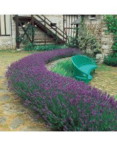 Lavender Munstead