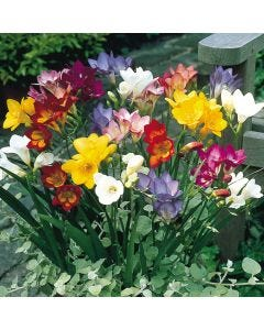 Single Freesia Mixed