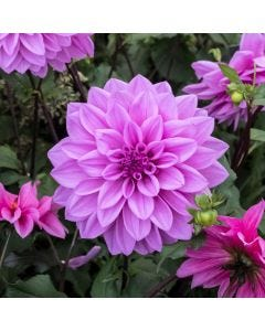 3 Dahlia Lilac Time