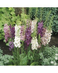 6 Verbascum Mixed