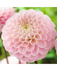 3 Dahlia Wizard of Oz