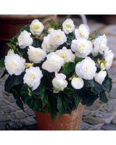3 Non stop Begonia White