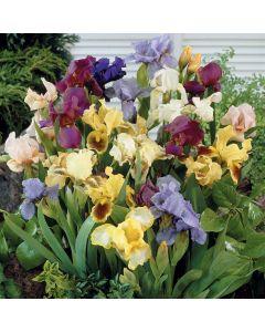 Dwarf Bearded Iris Mixed