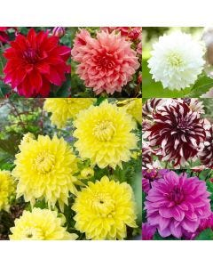 6 Dinner Plate Dahlia Collection