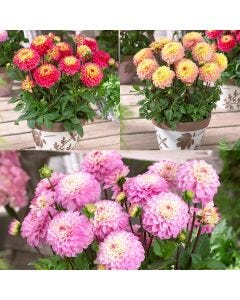 9 Dahlia Princess Collection