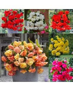 Begonia Cascading Collection