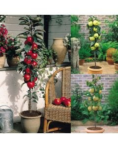 3 Miniature Patio Fruit Trees