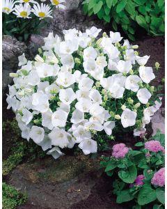 6 Campanula Carpatica Alba