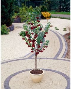 Dwarf Column Cherry