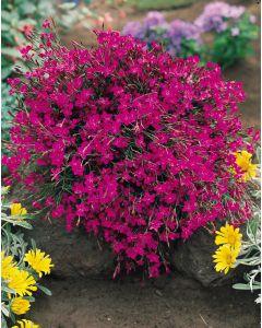 6 Dianthus Deltoides