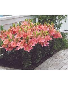 5 Lily Foxtrot