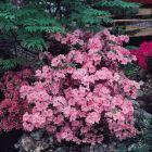 Diamond Azalea Pink