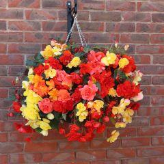 Begonia Illuminations Mixed (Pre-planted Basket)