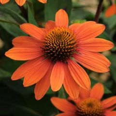 Echinacea Sombrero Adobe Orange