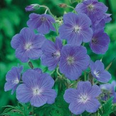 3 Geranium Johnson's Blue