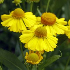 6 Helenium Helena Golden Yellow
