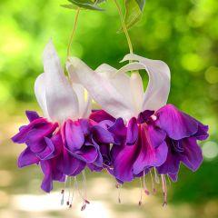 6 Giant Trailing Fuchsia Deep Purple