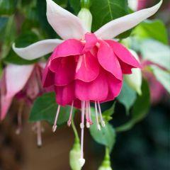 6 Fuchsia Seventh Heaven
