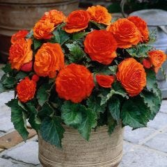 3 Non Stop Begonia Orange