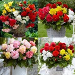 40 Begonia Mixture Collection