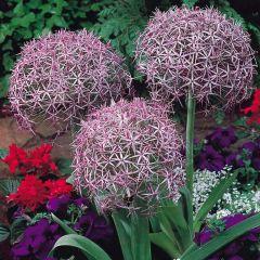 15 Allium Christophii