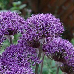 15 Allium Violet Beauty