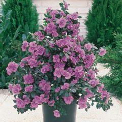 Diamond Azalea Lilac