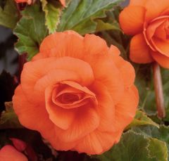 5 Begonia Double Orange