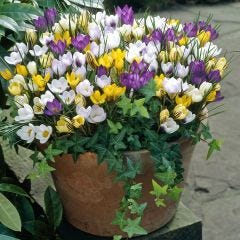 Winter Flowering Crocus Mixed