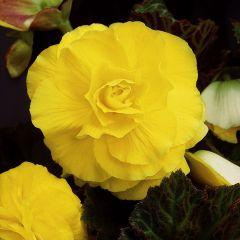 5 Begonia Double Yellow