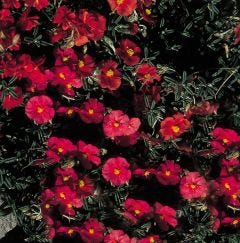 6 Helianthemum