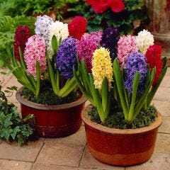 Top Size Hyacinths Mixed
