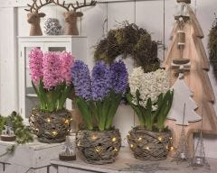 Indoor Christmas Hyacinth 3 Pack