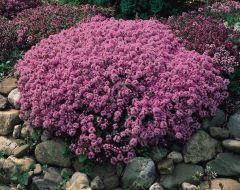 6 Thymus Serpyllum